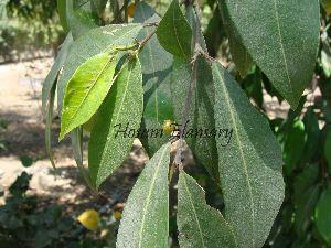 (Ficus trigonata - Hosam00029)  @11 [ ] Copyright (2010) Dr. Hosam Elansary Alexandria University