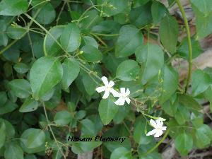 (Jasminum azoricum - Hosam00123)  @11 [ ] Copyright (2011) Dr. Hosam Elansary Alexandria University