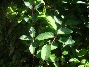 (Lonicera japonica - Hosam00284)  @11 [ ] Copyright (2013) Dr. Hosam Elansary Alexandria University