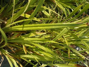 (Pandanaceae - Hosam00369)  @11 [ ] Copyright (2013) Dr. Hosam Elansary Alexandria University