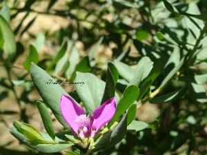 (Polygala myrtifolia - Hosam00017)  @11 [ ] Copyright (2010) Dr. Hosam Elansary Alexandria University