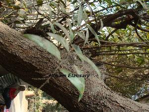 (Ruprechtia - Hosam00151)  @11 [ ] Copyright (2011) Dr. Hosam Elansary Alexandria University