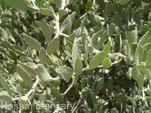 (Simmondsiaceae - Hosam00080)  @11 [ ] Copyright (2010) Dr. Hosam Elansary Alexandria University
