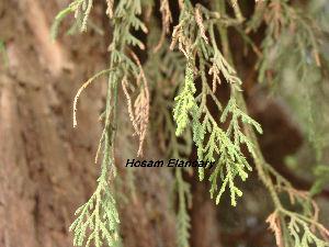 (Taxodium distichum - Hosam00136)  @11 [ ] Copyright (2011) Dr. Hosam Elansary Alexandria University