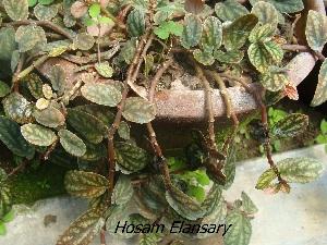(Pellionia - Hosam00252)  @11 [ ] Copyright (2013) Dr. Hosam Elansary Alexandria University