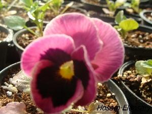 (Viola tricolor - Hosam00393)  @11 [ ] Copyright (2013) Dr. Hosam Elansary Alexandria University