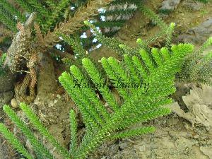 (Araucaria - Hosam00038)  @11 [ ] Copyright (2010) Dr. Hosam Elansary Alexandria University