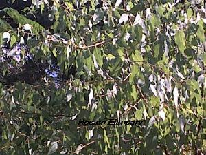 (Populus euphratica - Hosam00132)  @11 [ ] Copyright (2011) Dr. Hosam Elansary Alexandria University