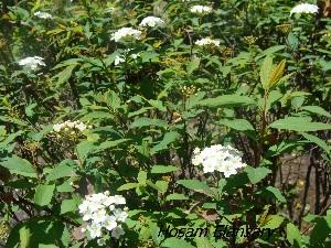 (Spiraea cantoniensis - Hosam00291)  @11 [ ] Copyright (2013) Dr. Hosam Elansary Alexandria University