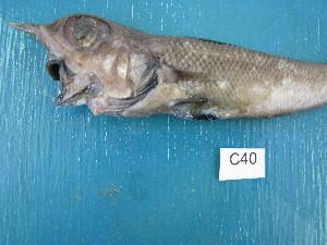 (Coelorinchus karrerae - HvdB-Jan-2011-40)  @11 [ ] No Rights Reserved  Herman van der Bank Unspecified