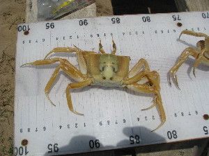 (Ovalipidae - HVDBC-34)  @14 [ ] Copyright (2011) Herman Van Der Bank Unspecified