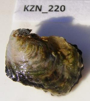 (Isognomonidae - HvdBM_KZN_223)  @14 [ ] CreativeCommons - Attribution (2012) H van der Bank Unspecified