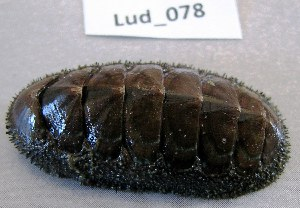 (Chaetopleuridae - HvdB-Lud-078)  @14 [ ] Unspecified (default): All Rights Reserved  Unspecified Unspecified