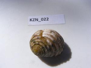 (Nerita plicata - HVDBM_KZN_024)  @13 [ ] Unspecified (default): All Rights Reserved  Unspecified Unspecified
