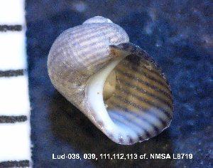 (Phasianellidae - HvdB-Lud-112)  @13 [ ] Unspecified (default): All Rights Reserved  Unspecified Unspecified