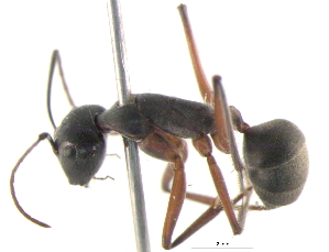 (Camponotus gouldianus - BIOUG02773-G06)  @13 [ ] CreativeCommons - Attribution Non-Commercial Share-Alike (2013) CBG Photography Group Centre for Biodiversity Genomics