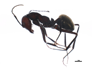 (Camponotus suffusus - BIOUG00878-E05)  @14 [ ] CreativeCommons - Attribution Non-Commercial Share-Alike (2011) BIO Photography Group Biodiversity Institute of Ontario