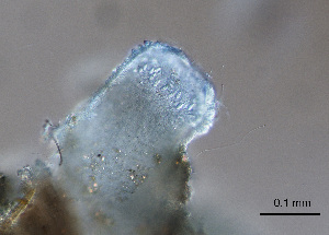 (Limnomedusae - X60)  @13 [ ] Copyright  P. Schuchert Natural History Museum of Geneva