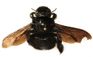 (Anthophoridae - CORBIDI AR-000286)  @11 [ ] Copyright (2010) CORBIDI Centro de Ornitologia y Biodiversidad