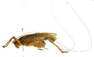 (Trybliophorus - CORBIDI AR-000331)  @11 [ ] Copyright (2010) CORBIDI Centro de Ornitologia y Biodiversidad