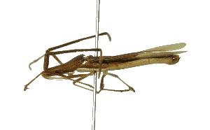 (Adididae - CORBIDI AR-000731)  @11 [ ] Copyright (2010) CORBIDI Centro de Ornitologia y Biodiversidad