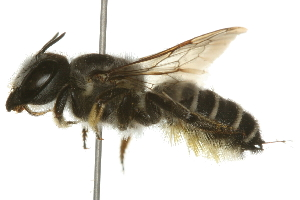 (Megachile policaris - 09BBHYM-030)  @14 [ ] CreativeCommons - Attribution Non-Commercial Share-Alike (2009) Unspecified Biodiversity Institute of Ontario