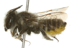 (Megachile onobrychidis - 09BBHYM-042)  @14 [ ] CreativeCommons - Attribution Non-Commercial Share-Alike (2009) Unspecified Biodiversity Institute of Ontario