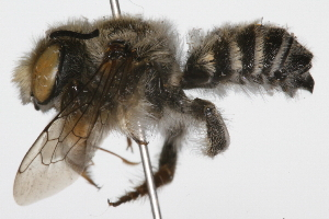 (Megachile soledadensis - 09BBHYM-286)  @15 [ ] CreativeCommons - Attribution Non-Commercial Share-Alike (2009) BIO Photography Group Biodiversity Institute of Ontario