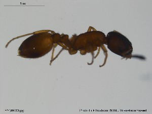 (Temnothorax tuberum - HYMNI30)  @12 [ ] CreativeCommons - Attribution Non-Commercial Share-Alike (2012) NTNU Museum of Natural History and Archaeology NTNU Museum of Natural History and Archaeology