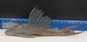 (Hypostomus wuchereri aff - HypBA6111)  @11 [ ] CreativeCommons - Attribution Share-Alike (2015) Unspecified Southwest Bahia State University