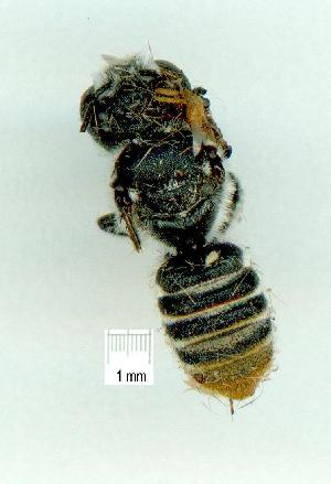 (MegachilidGC - gvc12346-1L)  @13 [ ] Copyright (2004) Graeme V. Cocks Unspecified