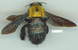 (Xylocopa sp. GC1 - gvc12481-1L)  @14 [ ] Copyright (2004) Unspecified Unspecified