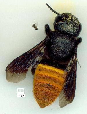 (Megachile mystaceana - gvc15762-1L)  @14 [ ] CreativeCommons - Attribution Non-Commercial (2010) Graeme V. Cocks Research Collection of Graeme V. Cocks