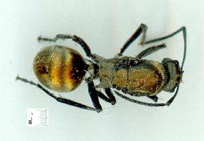 (Polyrhachis sp. GC3 - gvc9739-1L)  @11 [ ] Copyright (2004) Graeme V. Cocks Unspecified
