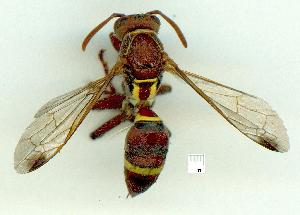 (Polistes stigma - gvc16536-1L)  @14 [ ] CreativeCommons - Attribution Non-Commercial (2010) Graeme V. Cocks Unspecified