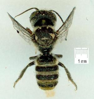 (Megachile turneri - gvc17720-1L)  @13 [ ] CreativeCommons - Attribution Non-Commercial (2011) Graeme V. Cocks Unspecified