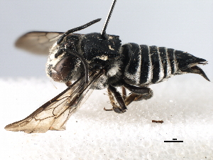 (Coelioxys - gvc17991-1L)  @15 [ ] CreativeCommons - Attribution Non-Commercial Share-Alike (2012) BIO Photography Group Biodiversity Institute of Ontario