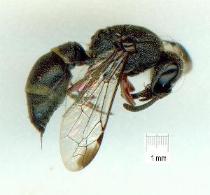 (Subancistrocerus - gvc18054-1L)  @14 [ ] CreativeCommons - Attribution Non-Commercial (2012) Graeme V. Cocks Unspecified