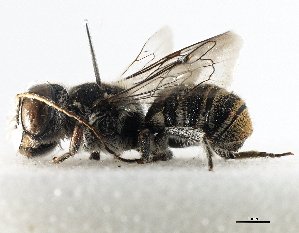 (MegachilidGC - gvc18076-1L)  @13 [ ] CreativeCommons - Attribution Non-Commercial Share-Alike (2012) BIO Photography Group Biodiversity Institute of Ontario