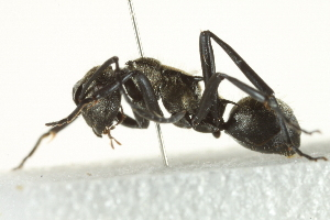 (Polyrhachis sp. GC2 - gvc6281-1L)  @14 [ ] CreativeCommons - Attribution Non-Commercial Share-Alike (2012) BIO Photography Group Biodiversity Institute of Ontario