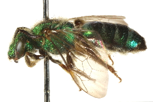 (Agapostemon radiatus - CCDB-28545-E08)  @11 [ ] CreativeCommons - Attribution Non-Commercial Share-Alike (2015) BIO Photography Group Biodiversity Institute of Ontario
