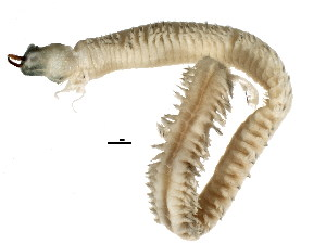 (Nereidinae - BIOUG03501-H11)  @14 [ ] CreativeCommons - Attribution Non-Commercial Share-Alike (2012) College of Marine Life Science Ocean University of China