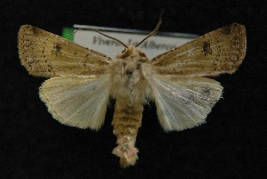 ( - AOC Lep 00146)  @14 [ ] Copyright (2014) Axel Hausmann/Bavarian State Collection of Zoology (ZSM) Universidad de Murcia