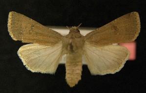 ( - AOC Lep 00158)  @14 [ ] Copyright (2014) Axel Hausmann/Bavarian State Collection of Zoology (ZSM) Universidad de Murcia