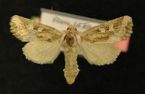 ( - AOC Lep 00163)  @15 [ ] Copyright (2014) Axel Hausmann/Bavarian State Collection of Zoology (ZSM) Universidad de Murcia