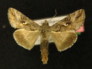 ( - AOC Lep 00183)  @13 [ ] Copyright (2014) Axel Hausmann/Bavarian State Collection of Zoology (ZSM) Universidad de Murcia