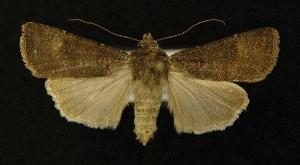 ( - AOC Lep 00275)  @14 [ ] Copyright (2014) Axel Hausmann/Bavarian State Collection of Zoology (ZSM) Universidad de Murcia
