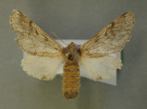 ( - AOC Lep 00604)  @13 [ ] Copyright (2014) Bavarian State Collection of Zoology (ZSM) Universidad de Murcia