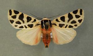 (Cymbalophora - AOC Lep 00639)  @13 [ ] Copyright (2014) Bavarian State Collection of Zoology (ZSM) Universidad de Murcia