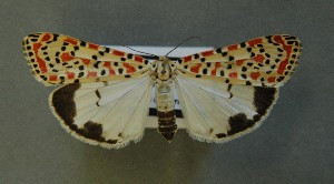 ( - AOC Lep 00653)  @13 [ ] Copyright (2014) Bavarian State Collection of Zoology (ZSM) Universidad de Murcia